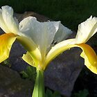 Yellow Iris by kookaburra