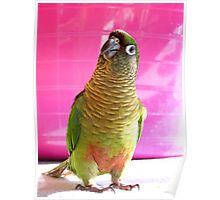 The Washing Is All Done Mum....Bubbles - Maroon-Bellied Conure - NZ Poster