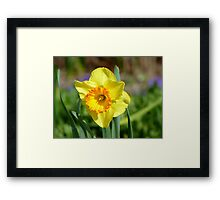 Dance With Daffodils On A Spring Breeze - Daffodil - NZ Framed Print