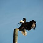 A bald eagle landing by Laurens