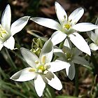 Star of Bethlehem by photopassion