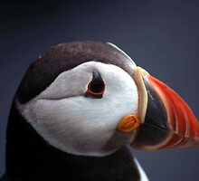 Puffin Head by Fiona MacNab