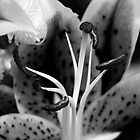 Black and White Lily by darrenashman