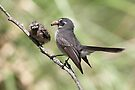 Grey Fantail and chick ~ I ordered pizza mum .... not another moth !!!   by Robert Elliott