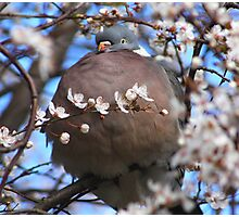 Cute puffed up wood pigeon Photographic Print