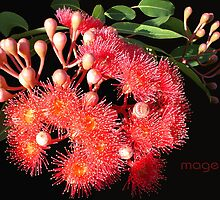 The humble gumnut....(flowering red gum) by Magee