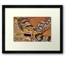 A Corn Snake Eating A Mouse With Tail Sticking Out Framed Print