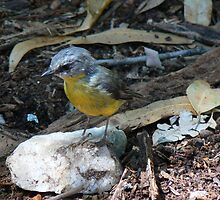 Eastern Yellow Robin by Neil Swenser
