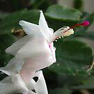 christmas cactus bloom 2 by Tina monroe