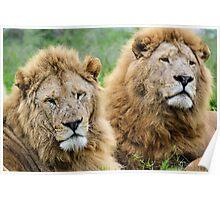 Taking care of Scarface (Panthera leo) Poster