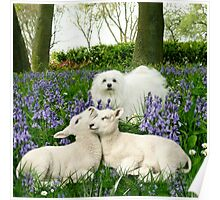 Snowdrop the Maltese & the Spring Lambs. Poster