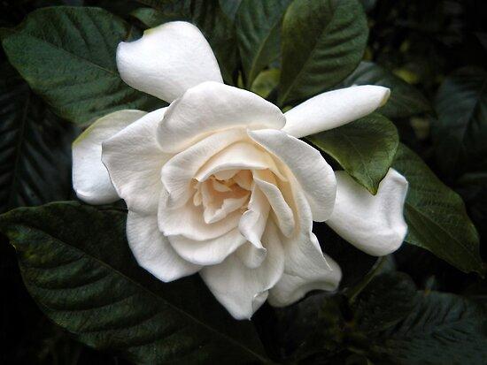 Gardenia by Jessica Jenney
