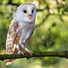 Barn Owl by Alan Forder