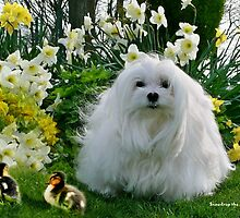 Snowdrop the Maltese at Easter by Morag Bates