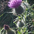 Thistle (Flower of Scotland) by Tez Watson