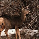 Mule Deer - Wasatch Mountain Range by Ryan Houston