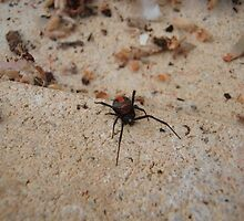 Redback Spider by Juliashmoolia