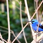 Purple Honeycreeper by Cayobo