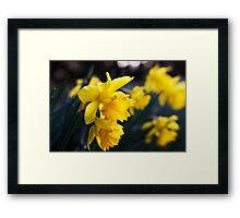 Daffodil Day Framed Print