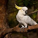 Morning visitor - sulphur-crested cockatoo by Celeste Mookherjee