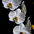 Phalaenopsis orchids by robinmoore