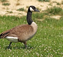 Goose waddle by sharonelaine