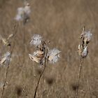 Milkweed seedheads by Anne Scantlebury
