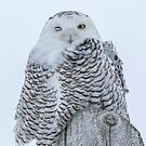 Winking Snowy Owl by Thomas Young