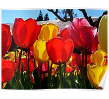Natures Cups Are Always Full...Tulips - NZ Poster