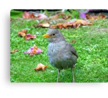 I Could Be A Collectors Item... - Blackbird - NZ Canvas Print