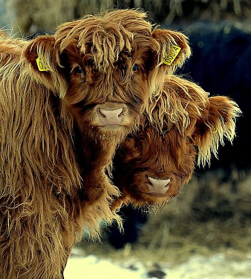 A calf and a half by Alan Mattison