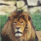 Lion by chazz