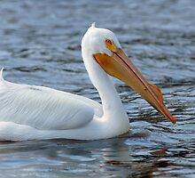 American White Pelican by Bonnie T.  Barry