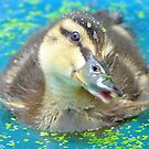 Oh Come On In... Join Me!!! - Mallard Duckling - NZ by AndreaEL