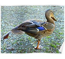 Getting Ready For Flying School - Mallard Duck - NZ Poster