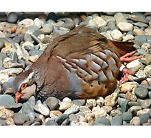 """Did You Not See The """"Do NOT Disturb Sign?""""!! - Partridge - NZ Photographic Print"""