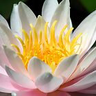 Pink Water Lilly by Janine  Hewlett