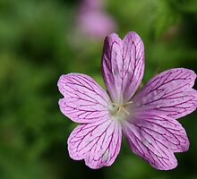 Donegal Flower by Donal O Faogain