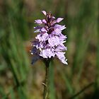 Wild Marsh Orchid by Donal O Faogain
