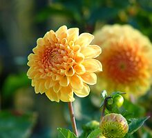 It's An Illusion...Yellow Dahlia - NZ by AndreaEL