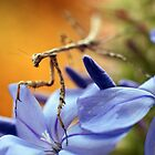 Preying Mantis by Gareth Chalklen