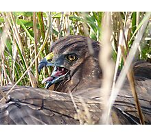 Don't Just Stand There, I Need Help!!! - Harrier Hawk - NZ  Photographic Print