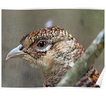 I See, Eye See You!! - Female Pheasant - NZ Poster