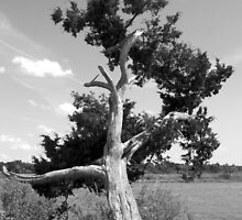 Tree Quartet II - The Gnarled Cypress by marie groves
