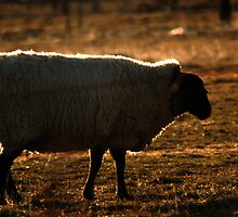 Sheep - Backlighting by Ryan Houston