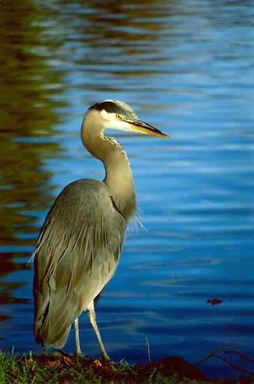 Along The Shores A Magestic Blue Heron Stands Still by Shawnna Taylor