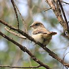 Fiscal Shrike fledgling by Maree  Clarkson