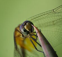 Dragonfly hanging on in the wind by insecthunter
