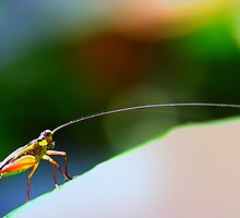 Long hone cricket by insecthunter