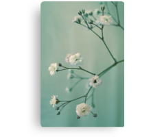 Gypsophila Canvas Print